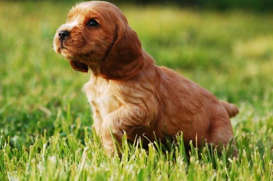 puppy-2414187_1920